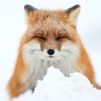 wild-foxes-photography-ivan-kislov-28